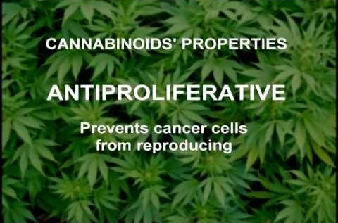 Duh: Marijuana Proven To Prevent Cancer Cell Growth; Accelerates Remission [STUDY]