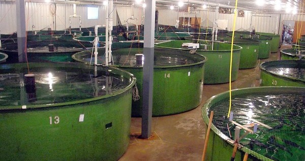 Genetically Modified Salmon: AquaBounty Technologies Seeks FDA Approval Of Fast-Growing Salmon