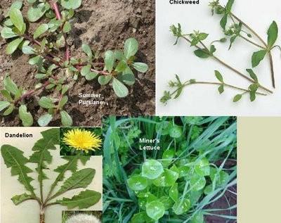 Edible Weeds: Herbal Medicine Chest in Your Backyard