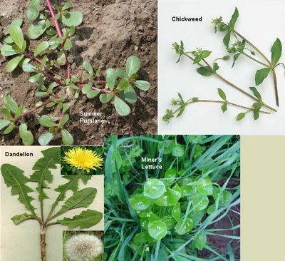 Edible Weeds: Herbal Medicine Chest in Your Backyard